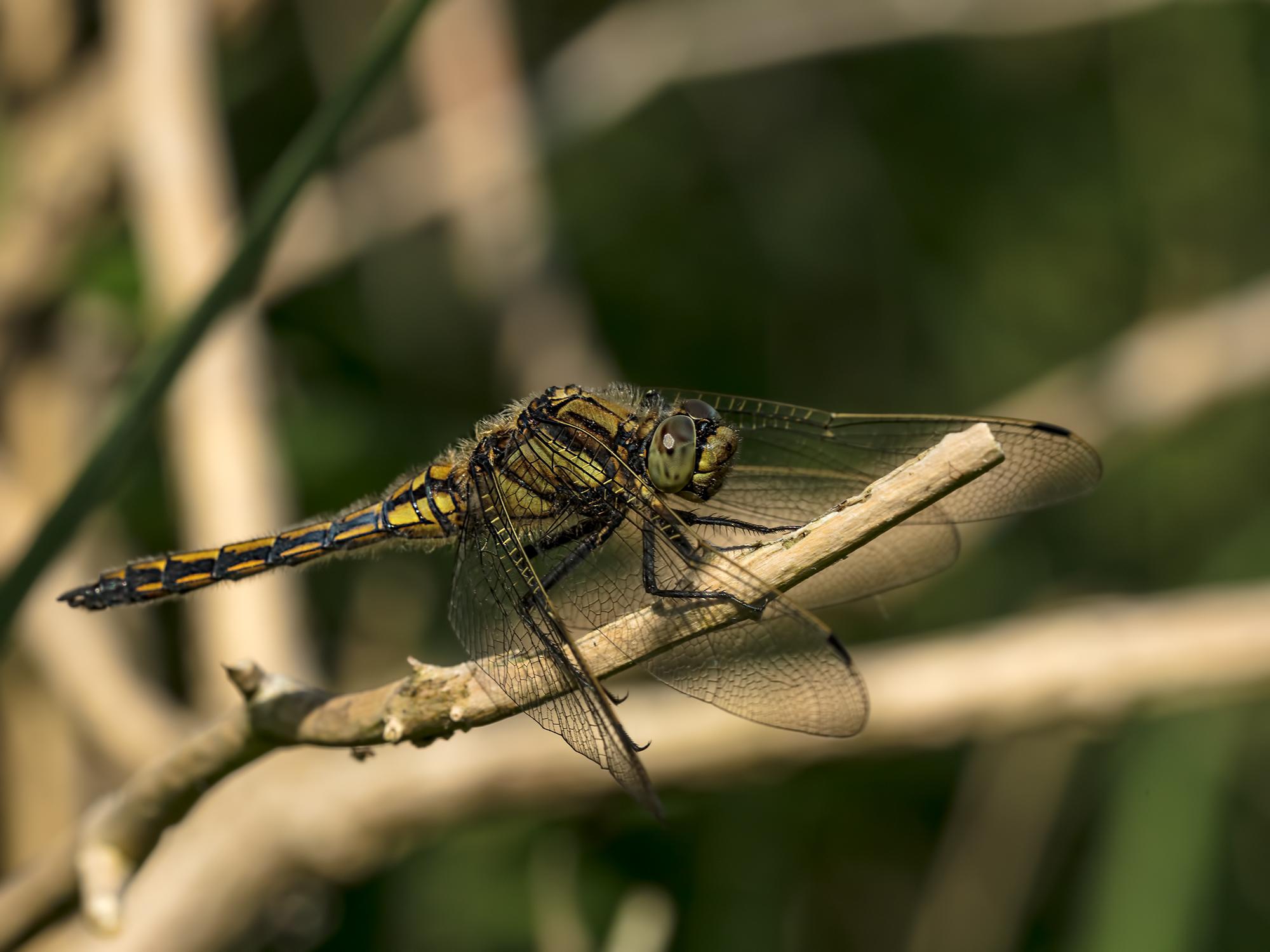 Female Black-tailed Skimmer