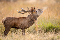 Bellowing Red Deer Stag