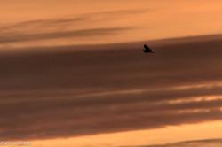 Heron in Sunset