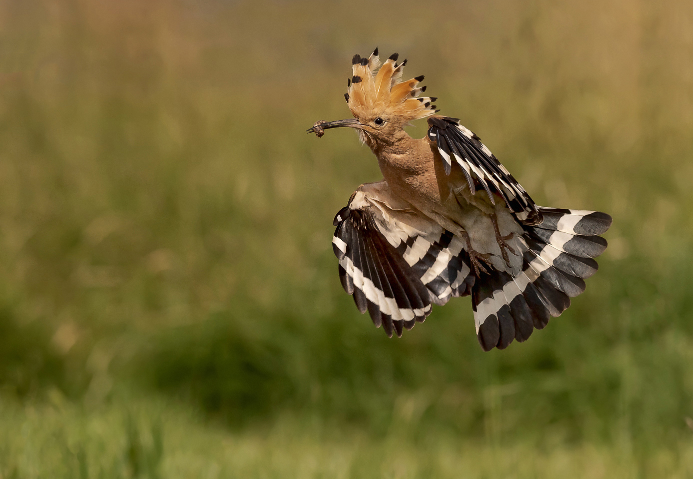 Hoopoe Returning to Young with Food