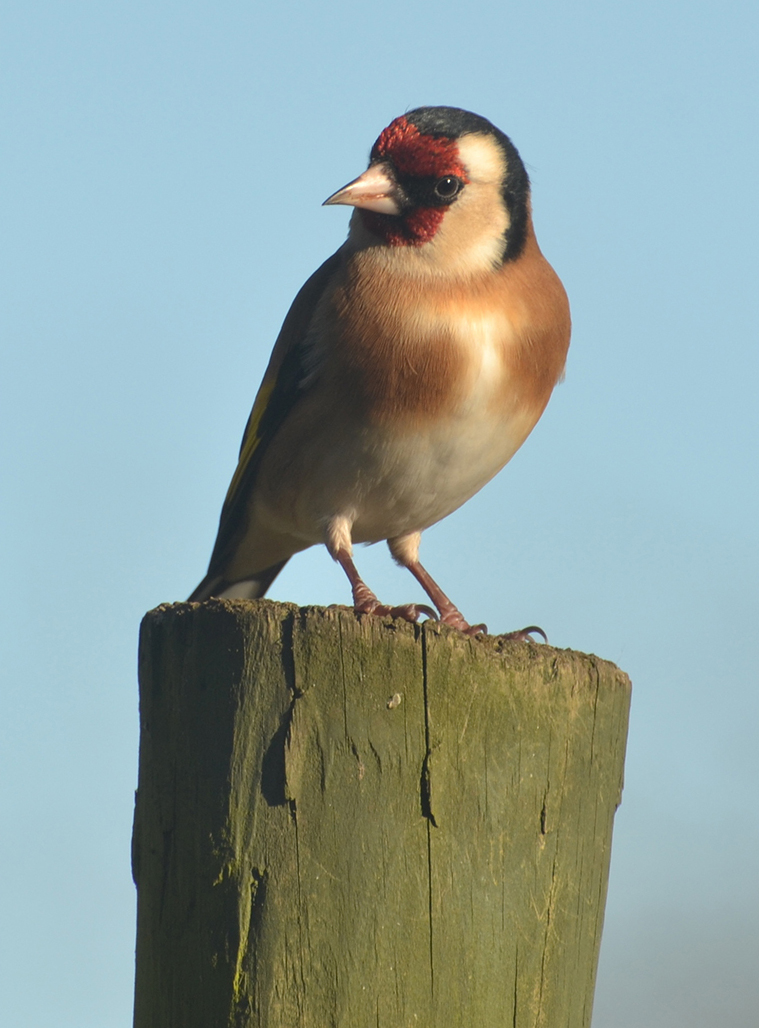 Goldfinch on Post