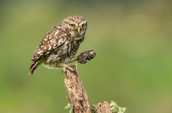 Little Owl with Common Shrew