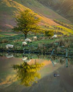 Herdwicks and Hawthorn at dawn