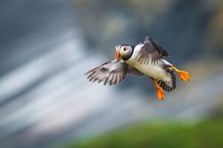 Atlantic Puffin [Fratercula arctica]