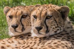Intense Cheetahs