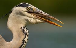 Grey Heron Swallowing a Carp