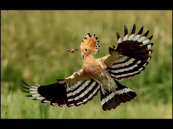 Hoopoe with Larvae for Young