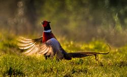 Backlit Pheasant