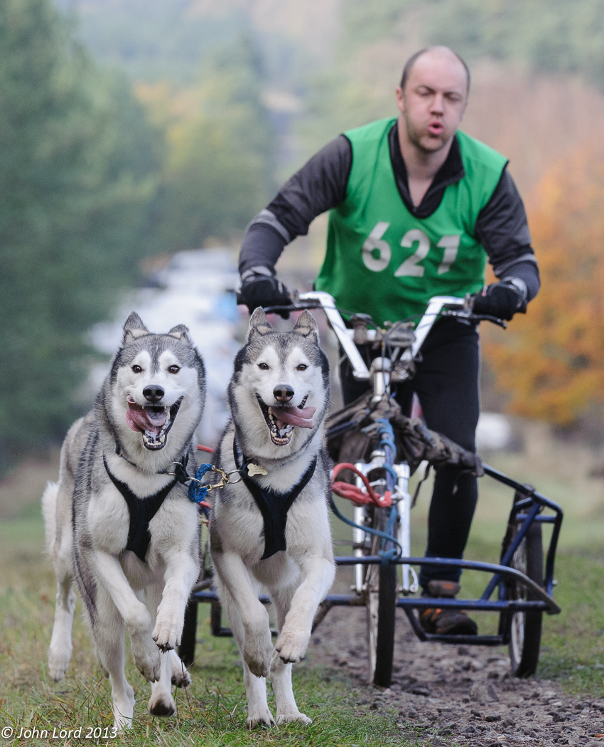 Siberian Husky Racing