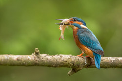 Male Kingfisher with Fish Supper