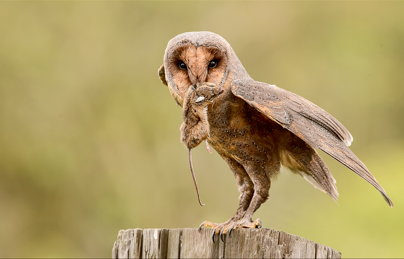 Melanistic Barn Owl with Prey