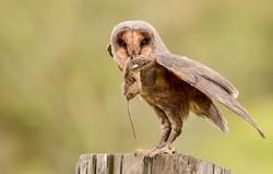 Melanistic Barn Owl with Prey