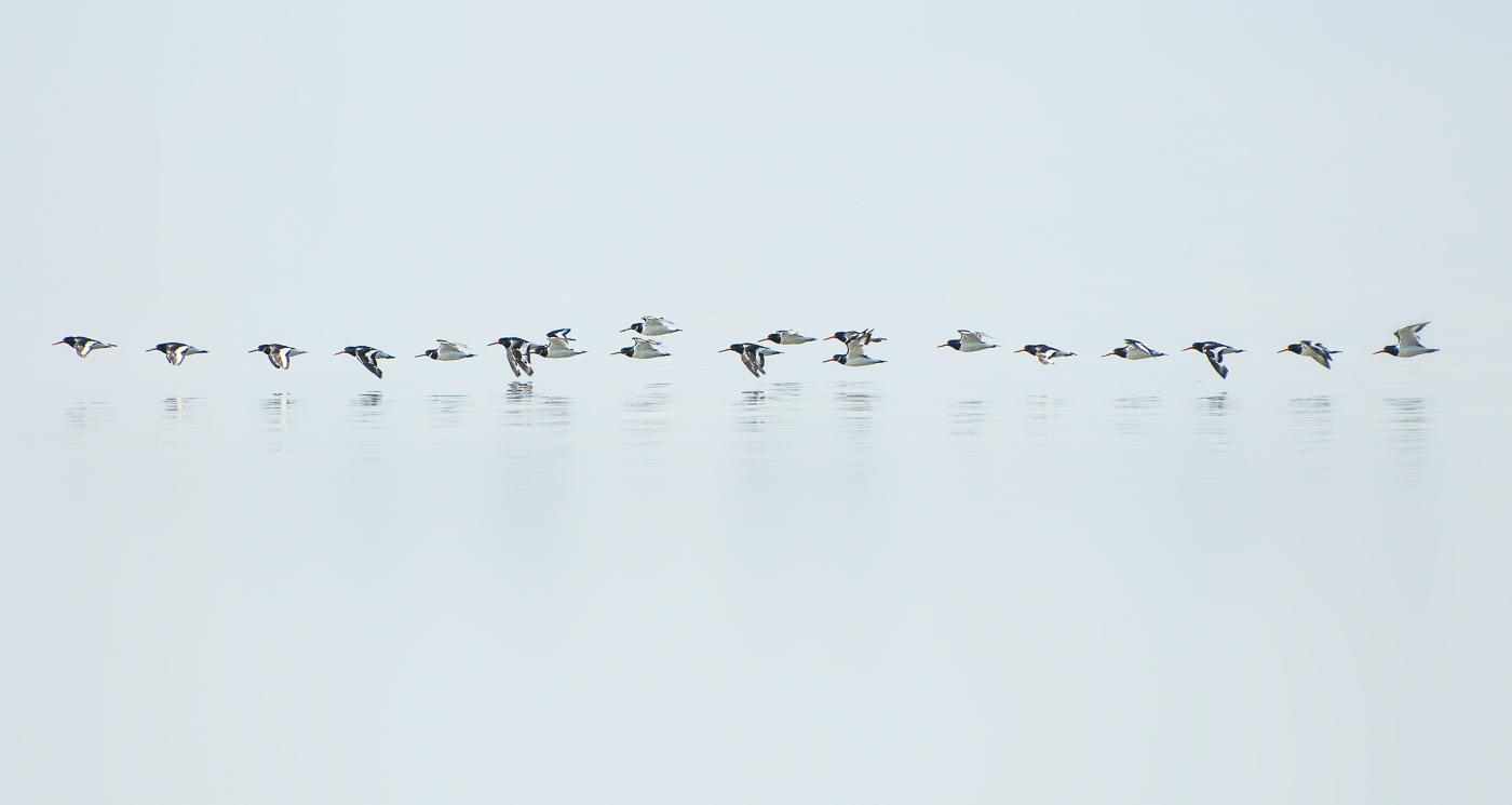 Oystercatchers skimming the water