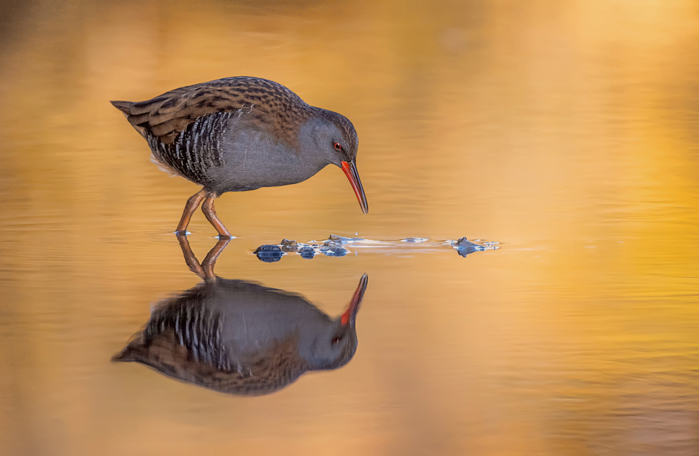 Autumnal Water Rail & Reflection