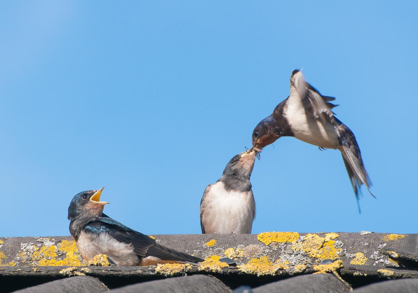 Swallow (Hirundo rustica) feeding a cranefly