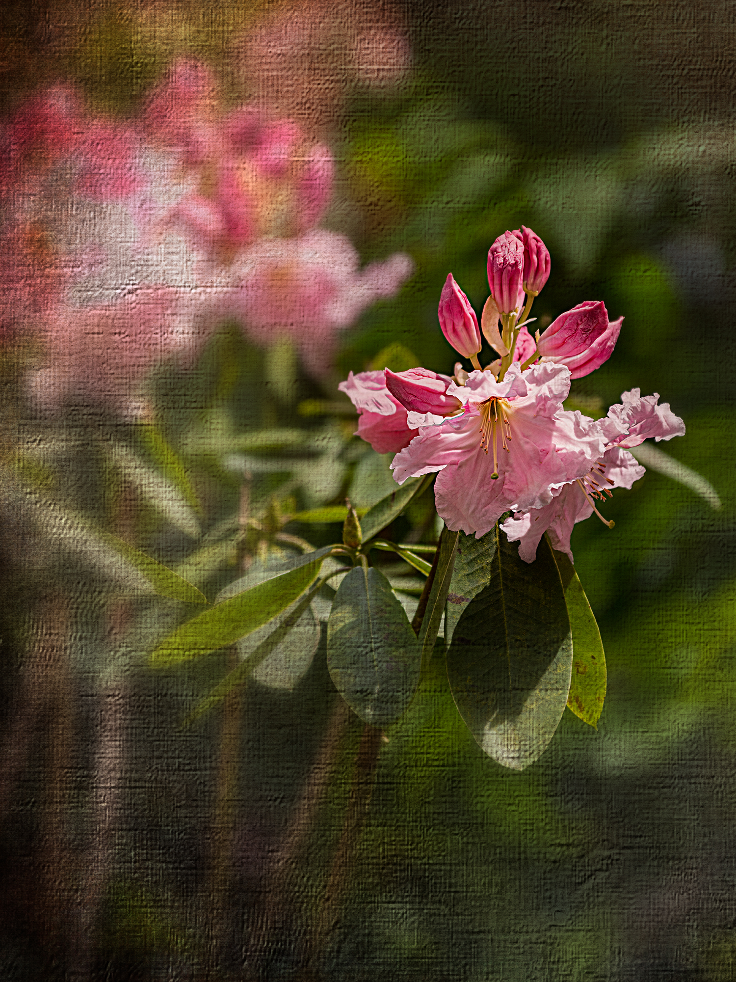 Rhododendron plus 2