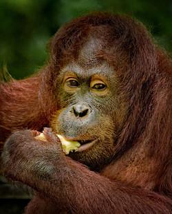 Orangutyan in Borneo