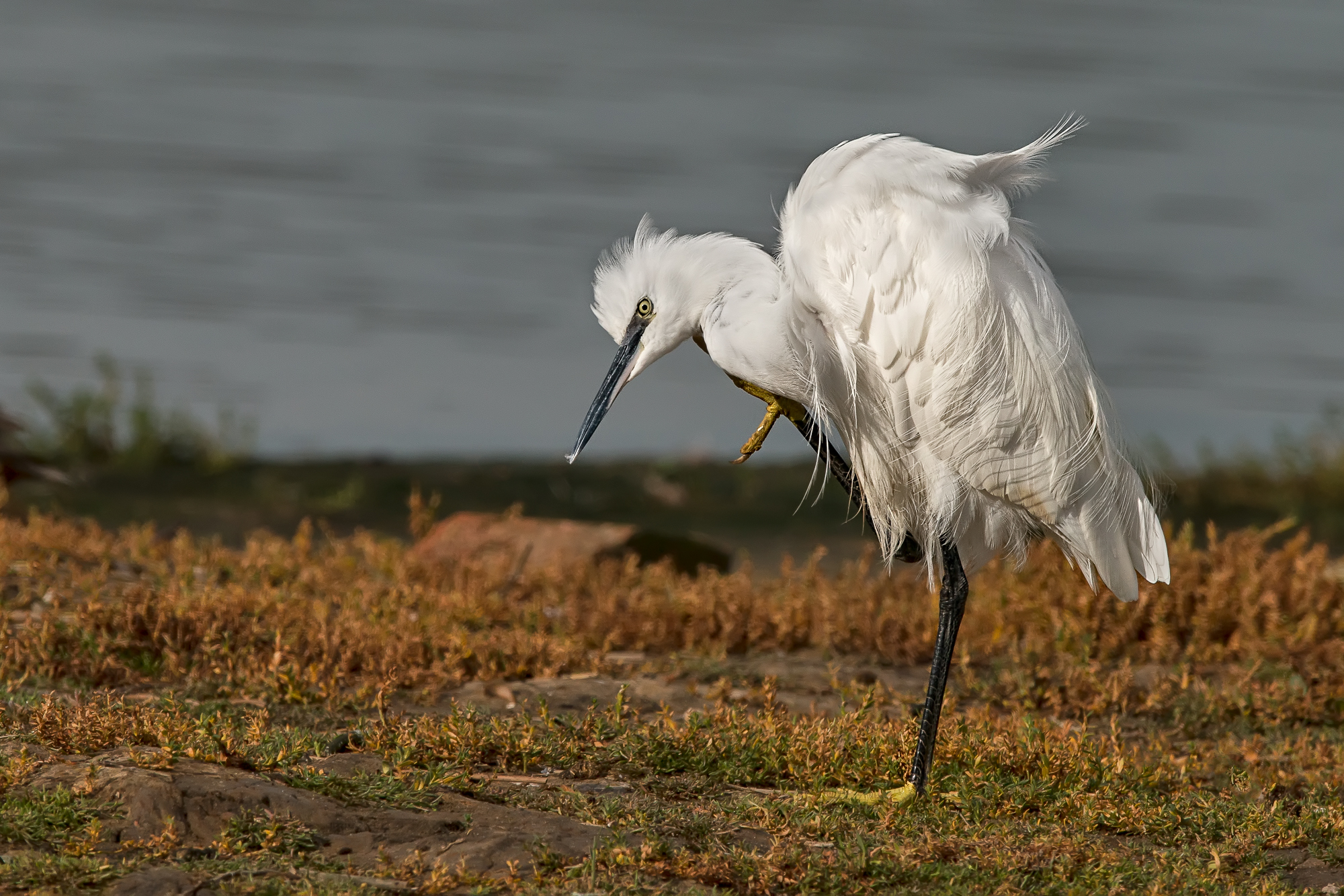 Little Egret Having a Scratch
