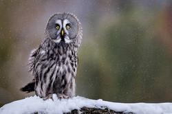 Great Grey Owl in Snowfall