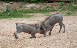 Warthog kiss