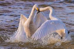 Whooper Swan Disagreement