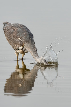 Grey Heron - Gone Fishin'