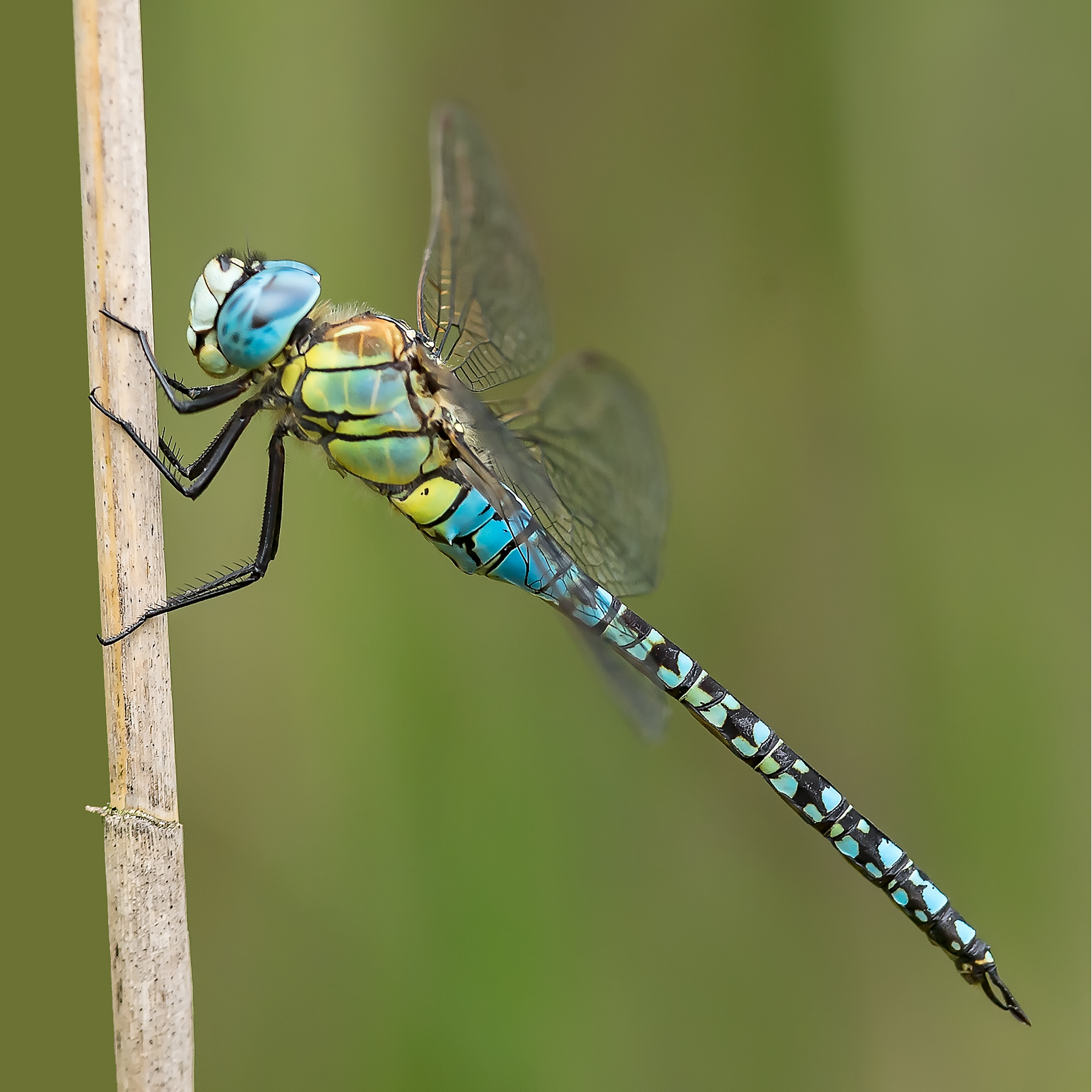 Southern-Migrant Hawker