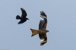Kite & Crow