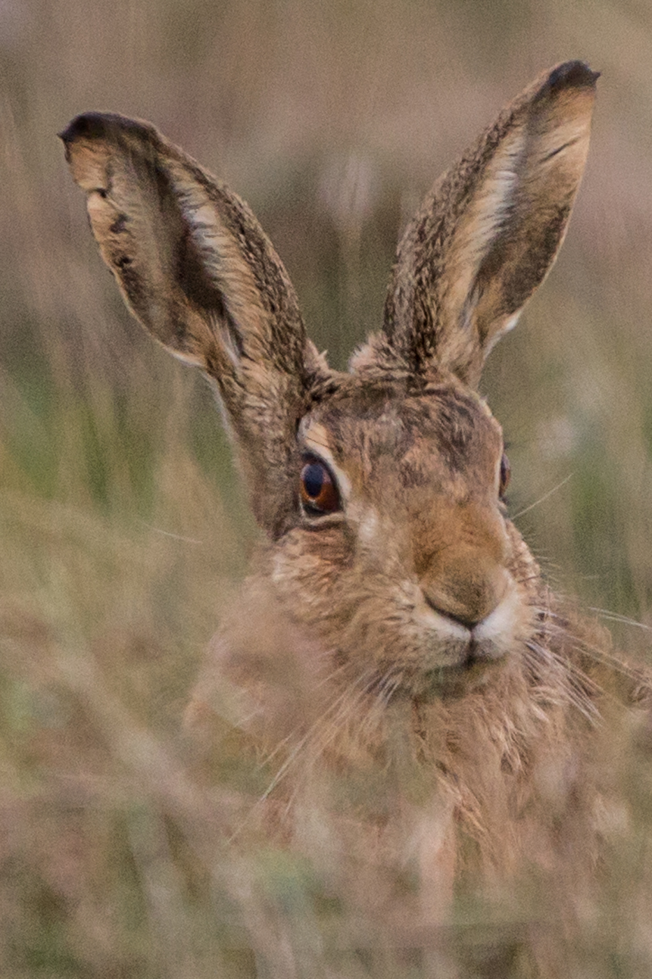 The Hares Lament