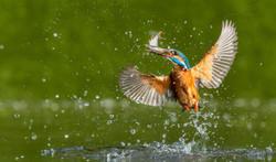Kingfisher Emerging with Rudd