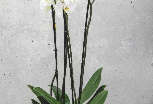 Orchideen gross