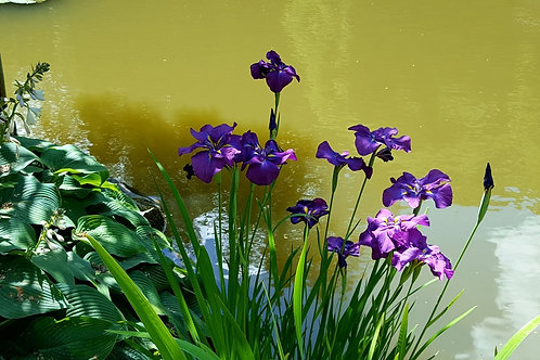 Iris Kaempferi (Pond Plant)