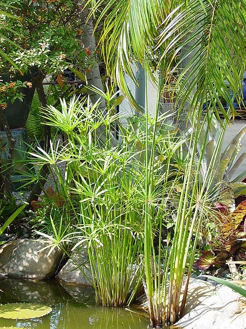 Umbrella Papyrus Plant