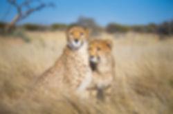 Cheetah-Web.jpg