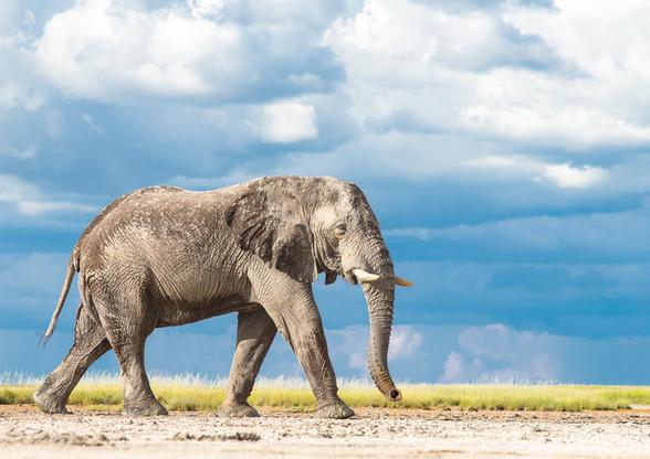 Nxai-Pan Elephant