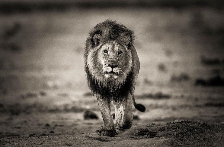 Lion-Nxai-B&W-Web.jpg