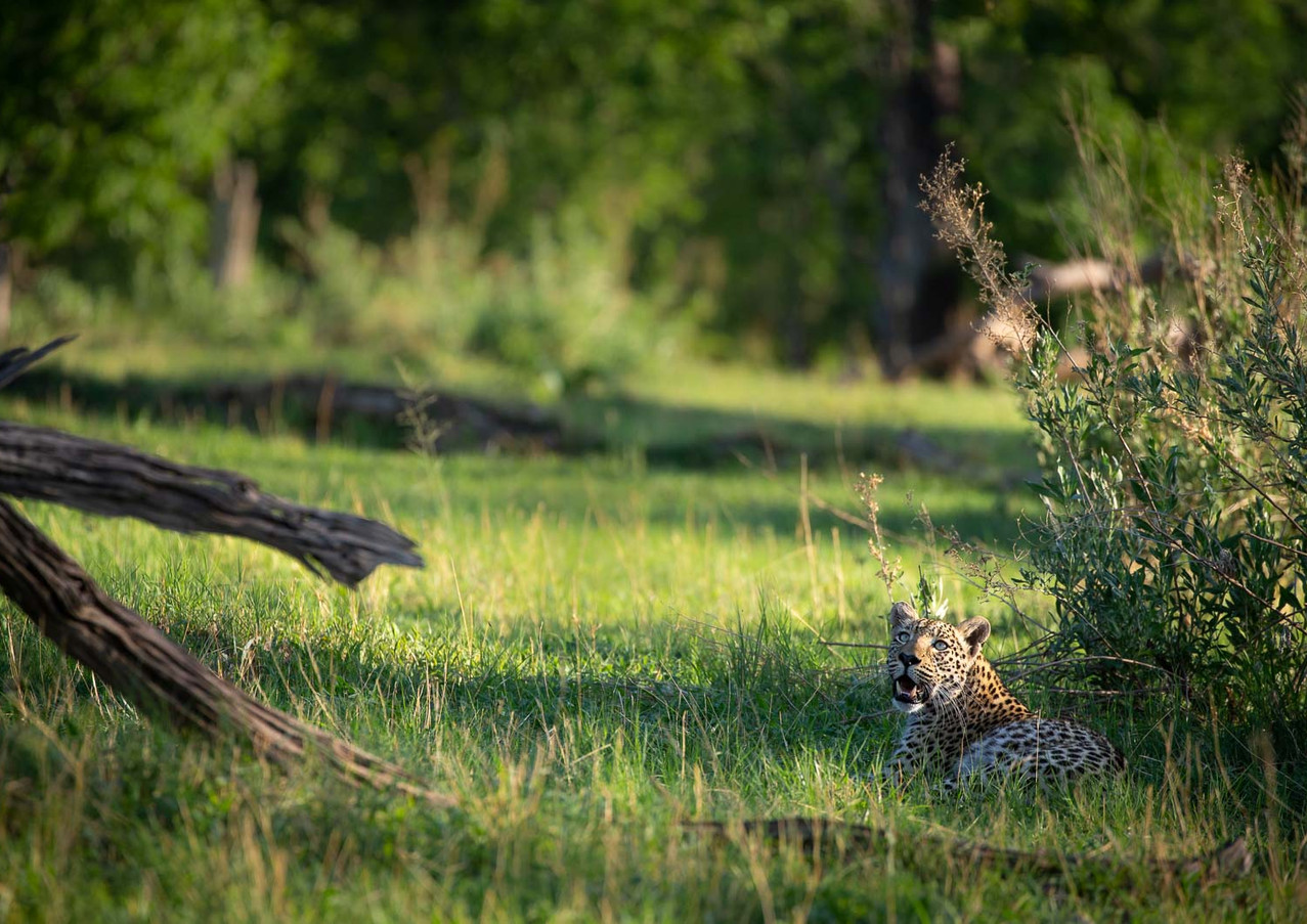Leopard Morning