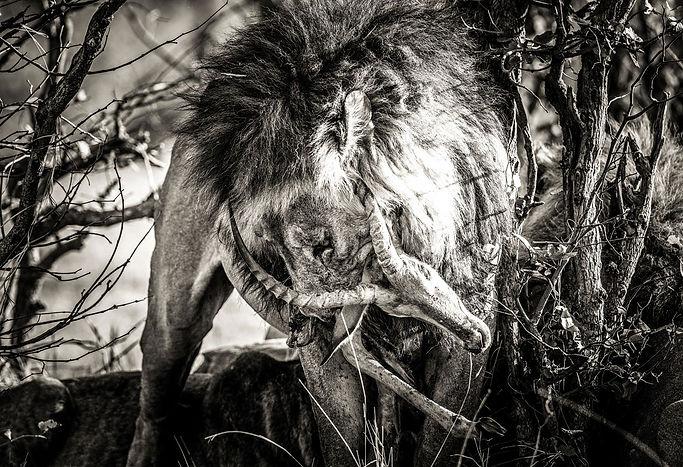 Lion-and-Impala-Web-Ready.jpg