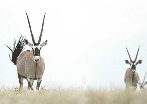 Pastel Oryx