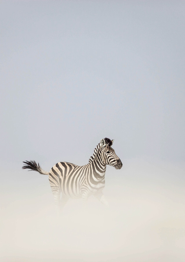 Clouded Zebra