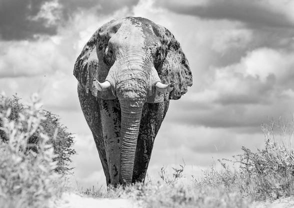 Black & White Elephant