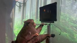 """El avance de """"Neuralink"""". Un mono juega el clásico juego """"Pong"""" con su mente."""