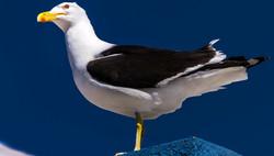 gaivotão