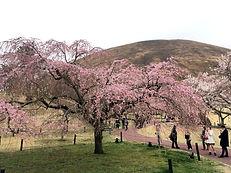 sakuranosato190329-1.jpg
