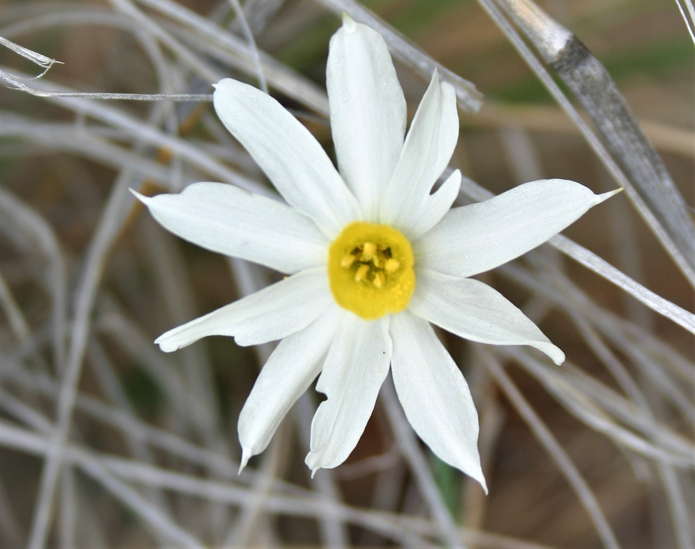Lycian Narcissus