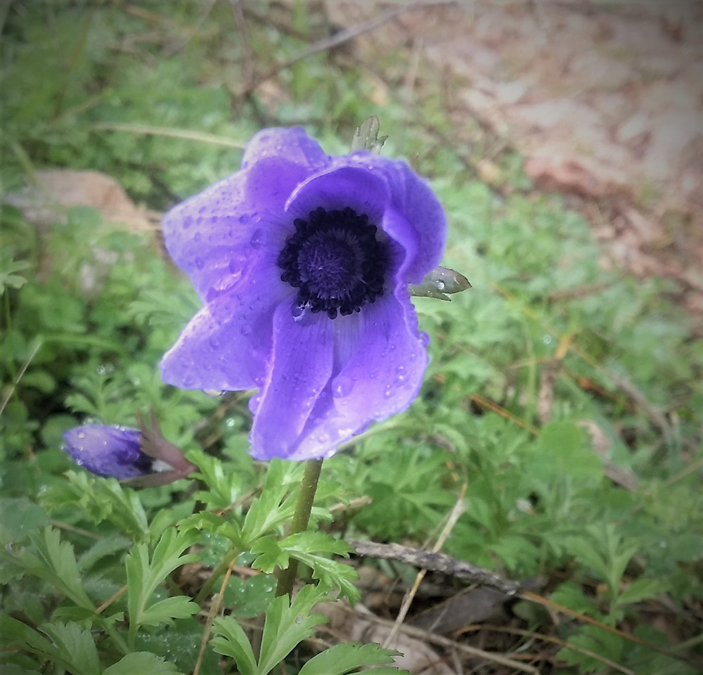 Winter Anemone on the Lycian way