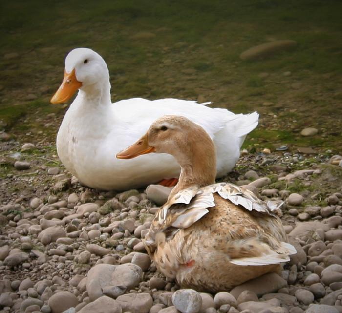 Ducks in the Adrasan river