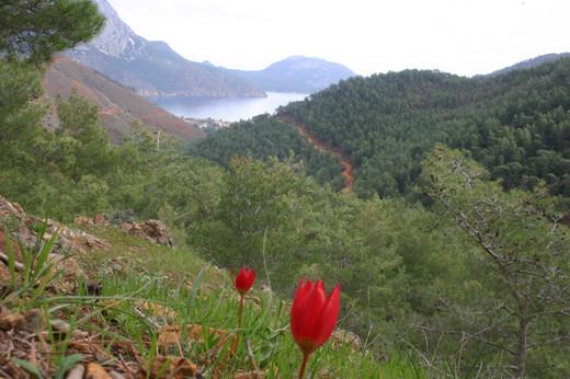 Lycian Tulip near Adrasan