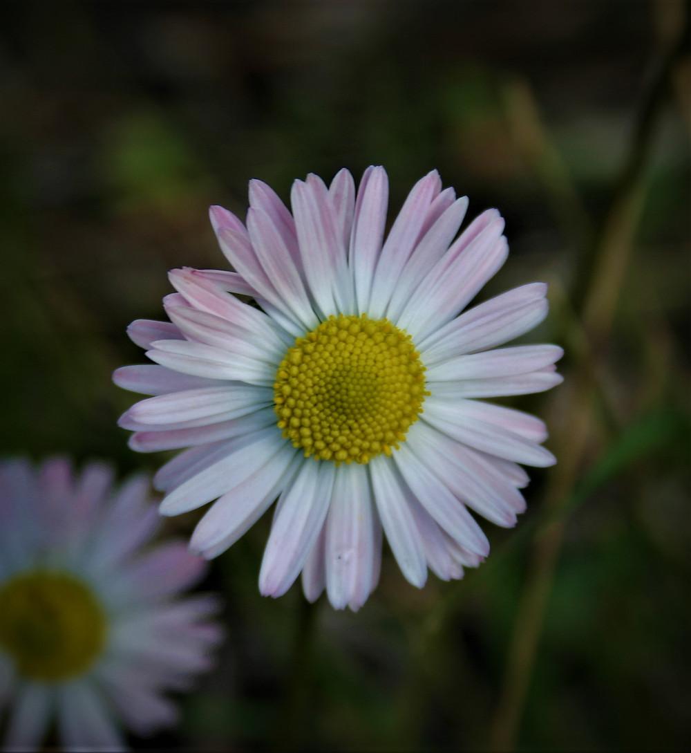 Winter Daisy on Lycian Way patara section
