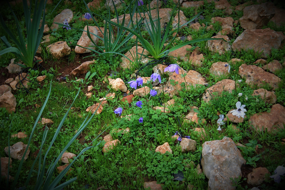 The Anemonies of the Lycian Way